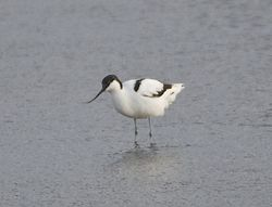 Avocet photographed at Colin Best NR [CNR] on 12/3/2013. Photo: © Royston Carr�
