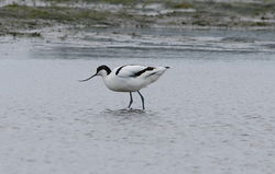 Avocet photographed at Colin Best NR [CNR] on 12/3/2013. Photo: © Karen Jehan