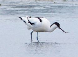 Avocet photographed at Colin Best NR [CNR] on 12/3/2013. Photo: © Tracey Henry