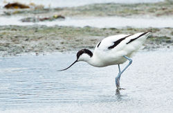 Avocet photographed at Colin Best NR [CNR] on 12/3/2013. Photo: © Anthony Loaring