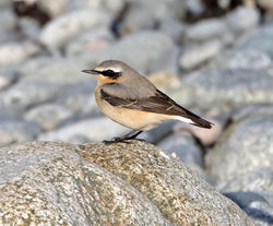 Wheatear photographed at Shingle Bank [SHI] on 13/3/2013. Photo: © Mike Cunningham