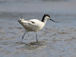 Avocet photographed at Colin Best NR [CNR] on 13/3/2013. Photo: © Royston Carr�