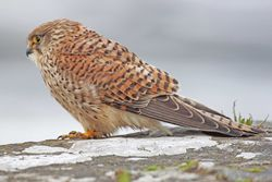 Kestrel photographed at Vazon [VAZ] on 13/3/2013. Photo: © David Spicer