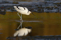 Avocet photographed at Colin Best NR [CNR] on 13/3/2013. Photo: © steve levrier