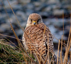Kestrel photographed at Fort Le Crocq [FLC] on 13/3/2013. Photo: © Mark Lawlor