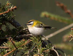 Firecrest photographed at St Peter Port [SPP] on 14/3/2013. Photo: © Mike Cunningham