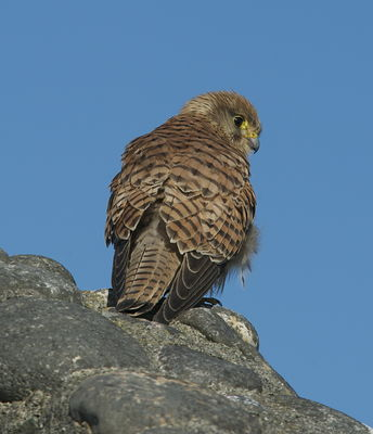Kestrel photographed at Fort Le Crocq [FLC] on 14/3/2013. Photo: © Karen Jehan