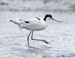 Avocet photographed at Colin Best NR [CNR] on 13/3/2013. Photo: © Mike Cunningham