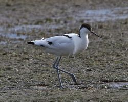 Avocet photographed at Colin Best NR [CNR] on 13/3/2013. Photo: © Cindy  Carre