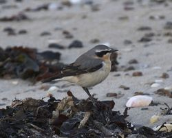 Wheatear photographed at Les Amarreurs [AMM] on 14/3/2013. Photo: © Cindy  Carre