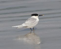 Sandwich Tern photographed at Cobo [COB] on 14/3/2013. Photo: © Cindy  Carre
