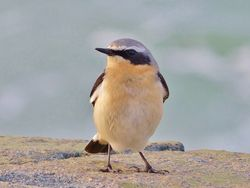 Wheatear photographed at L'Eree [LER] on 15/3/2013. Photo: © Tracey Henry