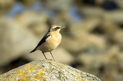 Wheatear photographed at Fort Le Crocq [FLC] on 18/3/2013. Photo: © Anthony Loaring