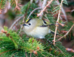 Goldcrest photographed at St Peter Port [SPP] on 20/3/2013. Photo: © Mike Cunningham