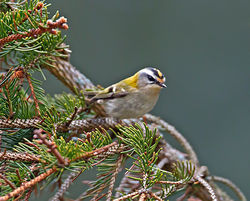 Firecrest photographed at St Peter Port [SPP] on 22/3/2013. Photo: © Mike Cunningham