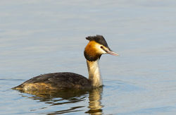 Great Crested Grebe photographed at Grandes Havres [GHA] on 23/3/2013. Photo: © Anthony Loaring