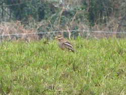 Stone Curlew photographed at Rue des Hougues, STA [H04] on 24/3/2013. Photo: © Mark Guppy