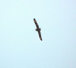 Short-eared Owl photographed at Mt. Herault [MHE] on 24/3/2013. Photo: © Mark Guppy