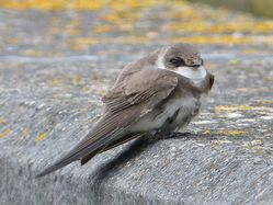 Sand Martin photographed at Reservoir [RES] on 25/3/2013. Photo: © Tracey Henry