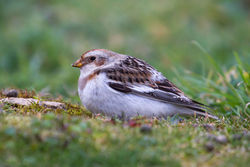 Snow Bunting photographed at Select location on 25/3/2013. Photo: © Adrian Gidney