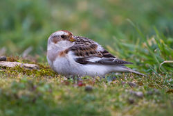 Snow Bunting photographed at Pleinmont [PLE] on 25/3/2013. Photo: © Adrian Gidney