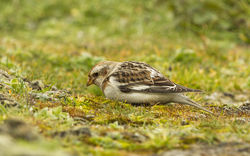 Snow Bunting photographed at Pleinmont [PLE] on 25/3/2013. Photo: © Anthony Loaring