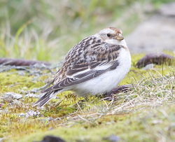Snow Bunting photographed at Pleinmont [PLE] on 26/3/2013. Photo: © Karen Jehan