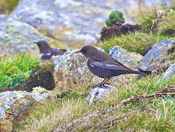 Ring Ouzel photographed at Pleinmont [PLE] on 26/3/2013. Photo: © Royston Carr�