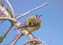 Goldcrest photographed at St. Peter Port on 26/3/2013. Photo: © Royston Carr�