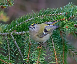 Goldcrest photographed at St Peter Port [SPP] on 26/3/2013. Photo: © Mike Cunningham