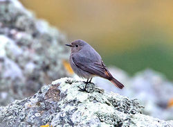 Black Redstart photographed at Pleinmont [PLE] on 26/3/2013. Photo: © Mike Cunningham