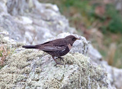 Ring Ouzel photographed at Pleinmont [PLE] on 26/3/2013. Photo: © Mike Cunningham