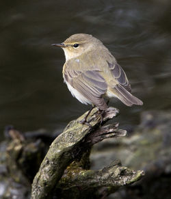 Chiffchaff photographed at Reservoir [RES] on 27/3/2013. Photo: © Mike Cunningham