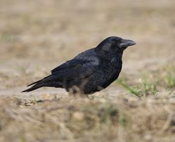 Raven photographed at Pleinmont [PLE] on 28/3/2013. Photo: © Royston Carr�