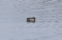 Garganey photographed at Vale Pond [VAL] on 28/3/2013. Photo: © Lydia Miller