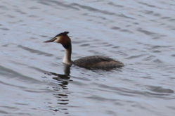 Great Crested Grebe photographed at Grandes Havres [GHA] on 25/3/2013. Photo: © Lydia Miller