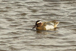 Garganey photographed at Vale Pond [VAL] on 29/3/2013. Photo: © Anthony Loaring