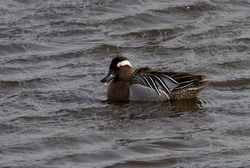 Garganey photographed at Vale Pond [VAL] on 29/3/2013. Photo: © Vic Froome