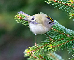 Goldcrest photographed at St Peter Port [SPP] on 30/3/2013. Photo: © Mike Cunningham
