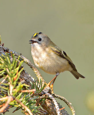 Goldcrest photographed at St Peter Port [SPP] on 31/3/2013. Photo: © Mike Cunningham