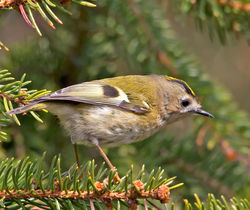 Goldcrest photographed at St Peter Port [SPP] on 1/4/2013. Photo: © Mike Cunningham