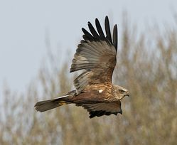 Marsh Harrier photographed at Rue des Bergers [BER] on 2/4/2013. Photo: © Royston Carr�