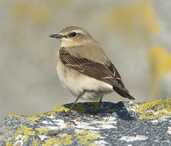 Wheatear photographed at Jaonneuse [JAO] on 2/4/2013. Photo: © Karen Jehan