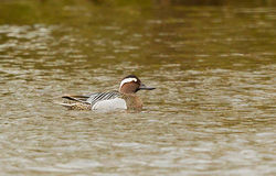 Garganey photographed at Marais Nord/ Vale Marais on 3/4/2013. Photo: © Anthony Loaring