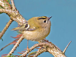 Goldcrest photographed at St Peter Port on 2/4/2013. Photo: © Mike Cunningham