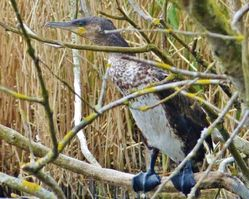 Cormorant photographed at Marais Nord/Vale Marais [NOR] on 4/4/2013. Photo: © Tracey Henry