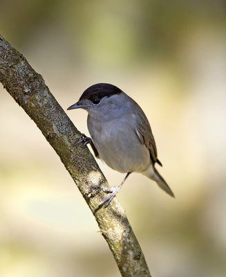 Blackcap photographed at St Peter Port [SPP] on 6/4/2013. Photo: © Mike Cunningham