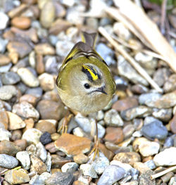 Goldcrest photographed at St Peter Port [SPP] on 6/4/2013. Photo: © Mike Cunningham