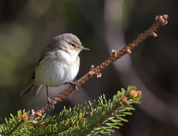 Chiffchaff photographed at St Peter Port [SPP] on 6/4/2013. Photo: © Mike Cunningham