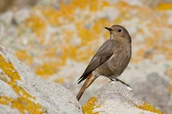 Black Redstart photographed at Jaonneuse [JAO] on 6/4/2013. Photo: © Rod Ferbrache